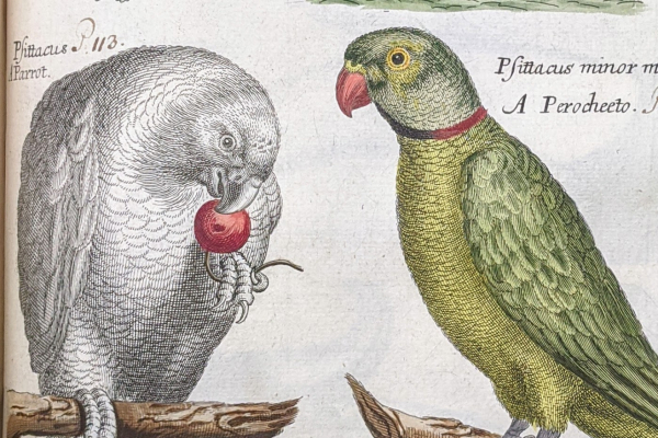 Colored engravings of parrots from a seventeenth-century book