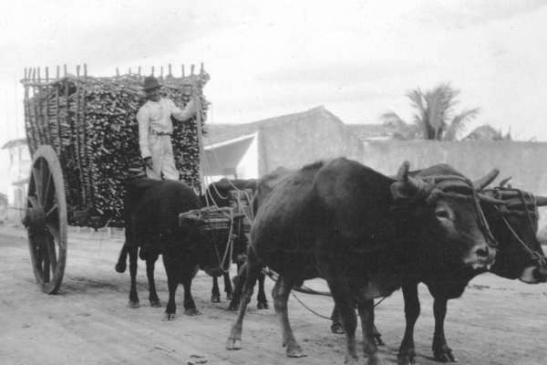A man stands atop a cart filled with cut sugar cane, pulled by four oxen. From the Braga Brothers Collection, University of Florida.